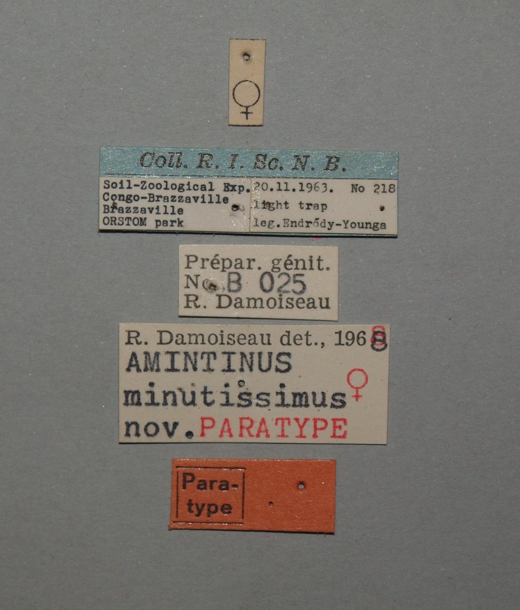 Amintinus minutissimus female pt.JPG