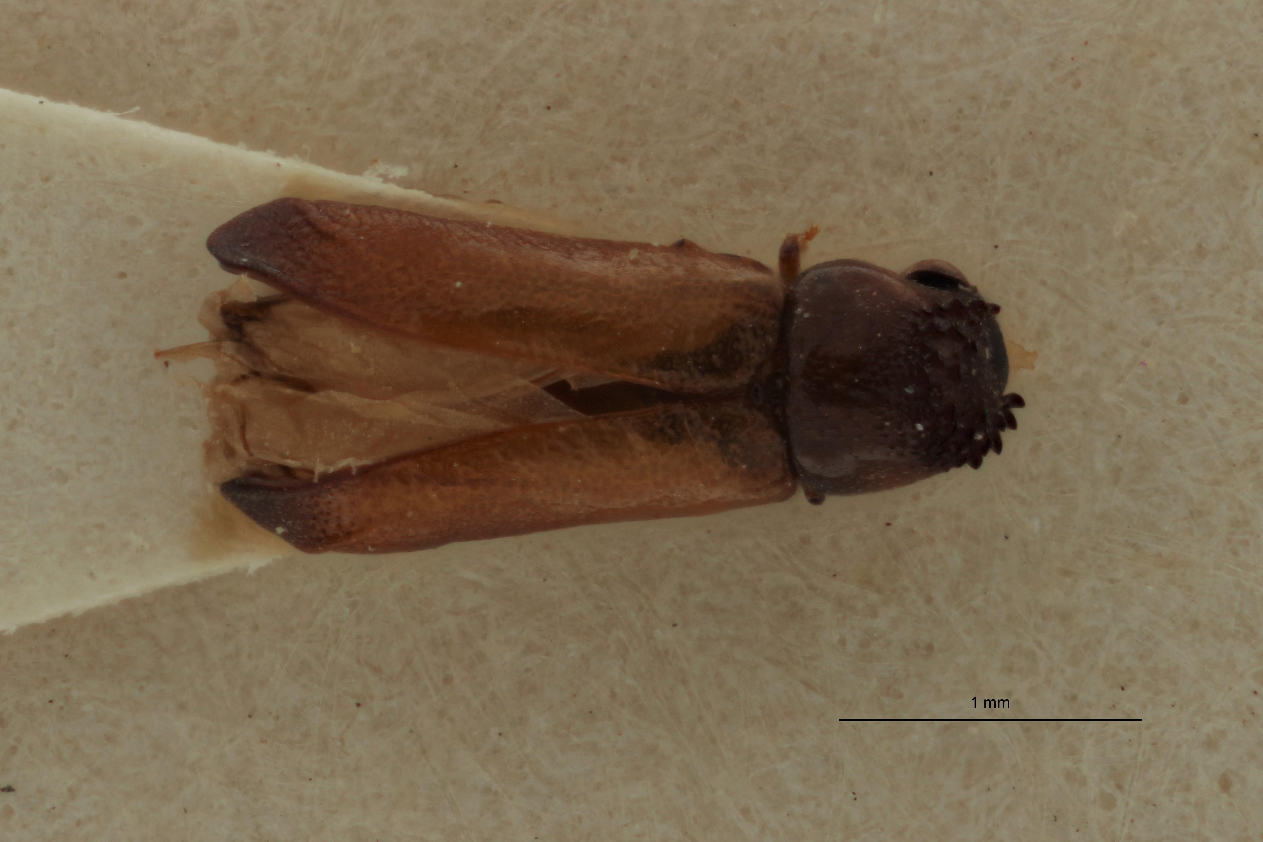 Amintinus tenuis Parallotype D.jpg