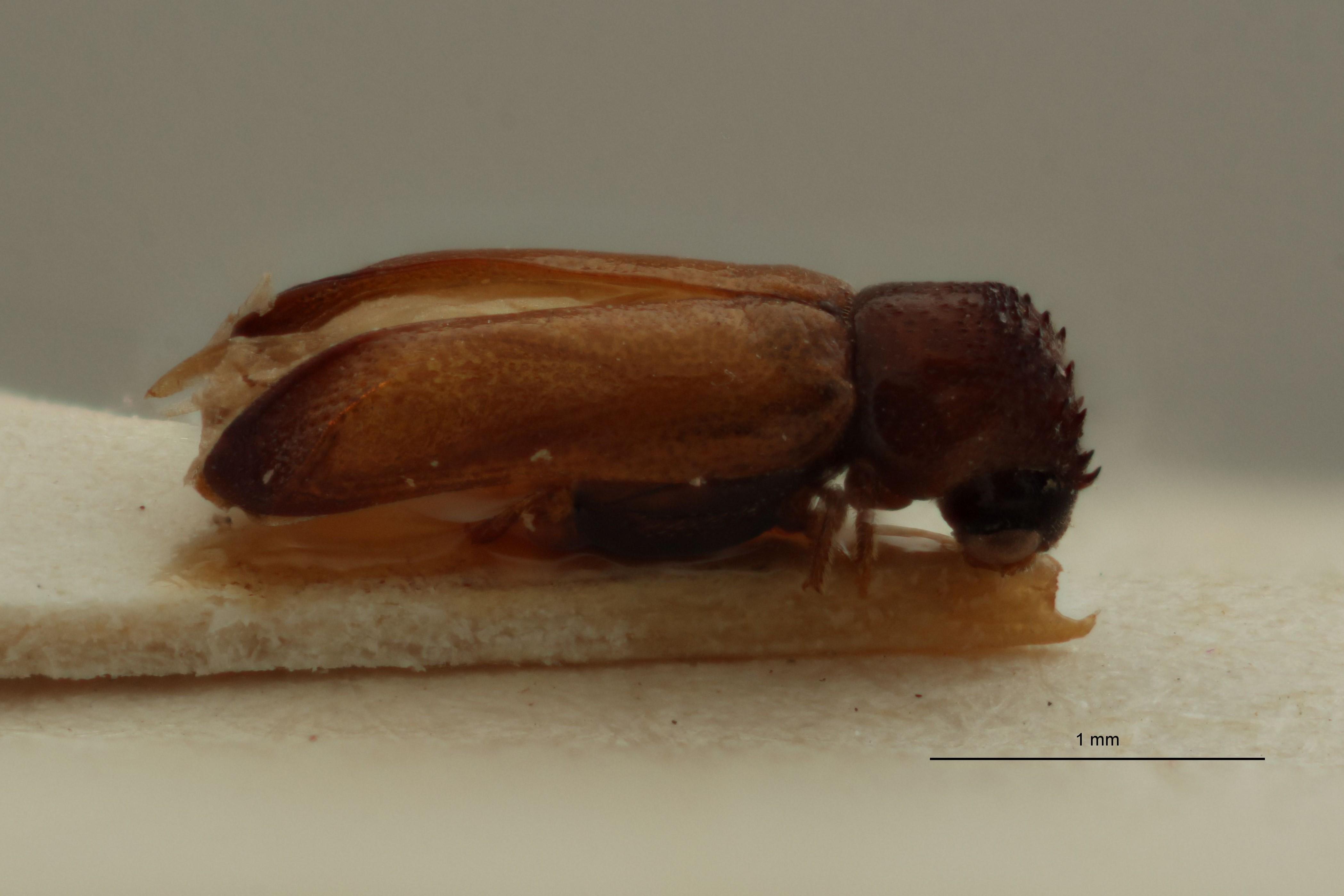 Amintinus tenuis Parallotype L.jpg