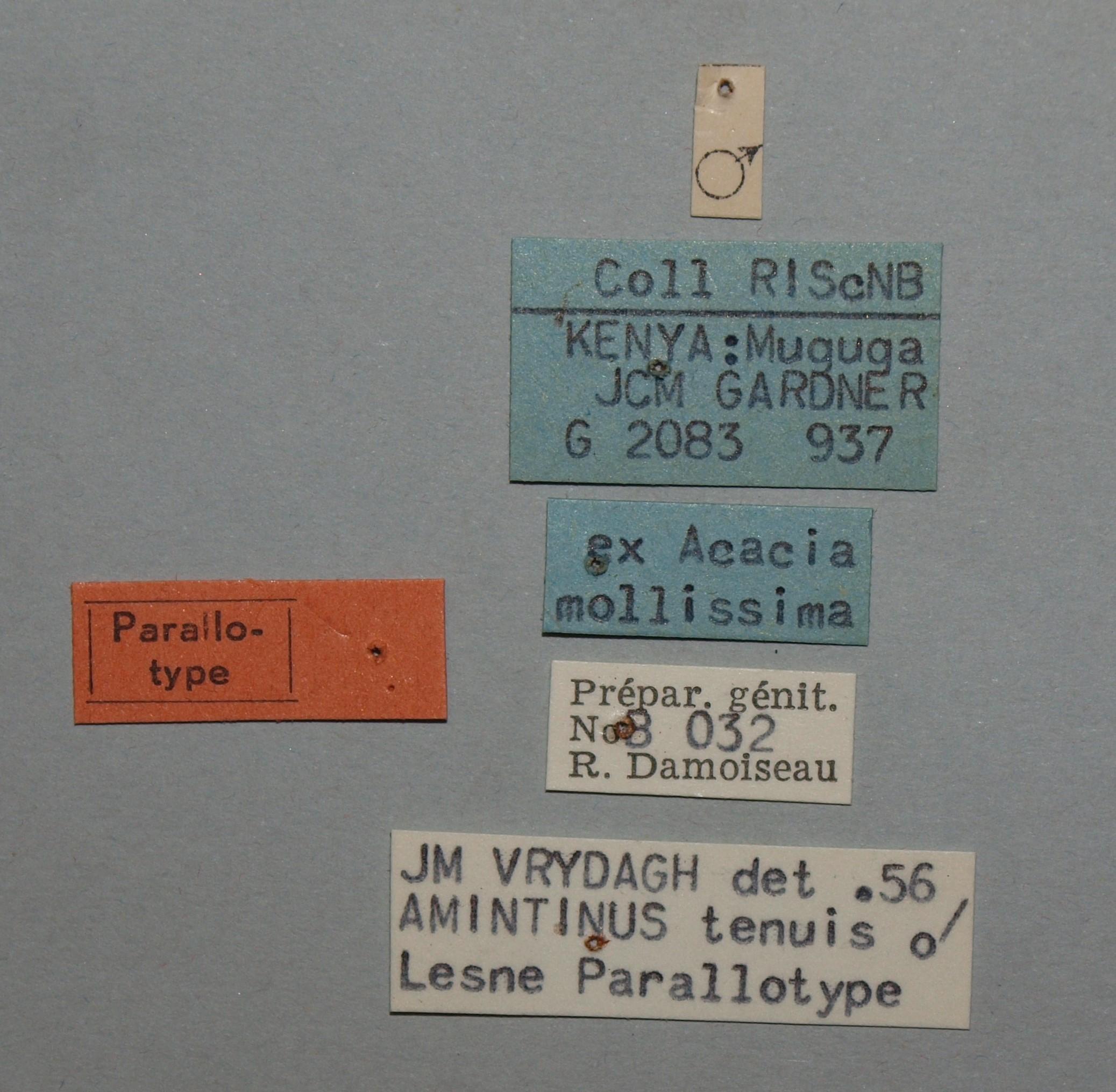 Amintinus tenuis Parallotype.JPG