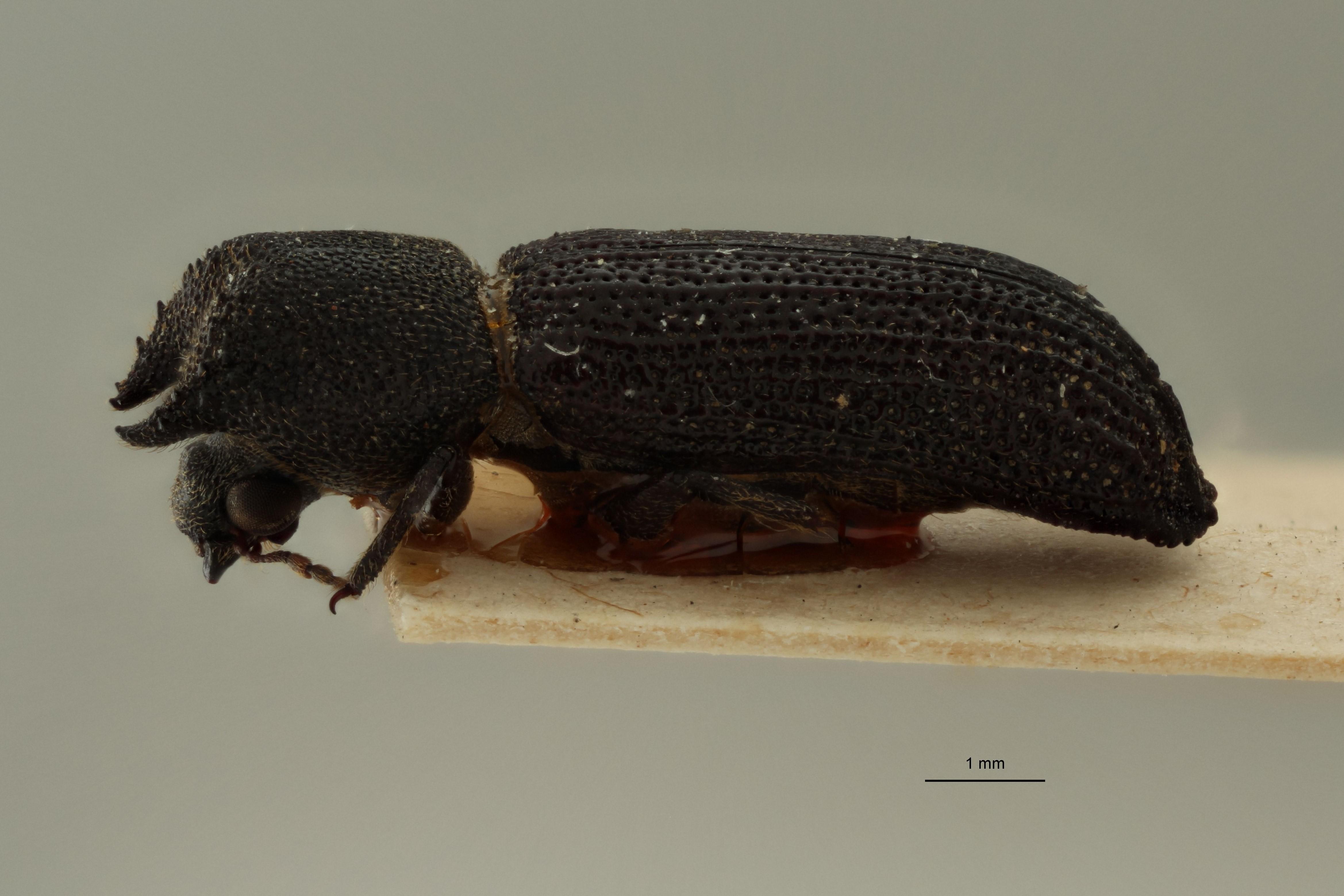 Bostrychoplites guineanus pt L.jpg
