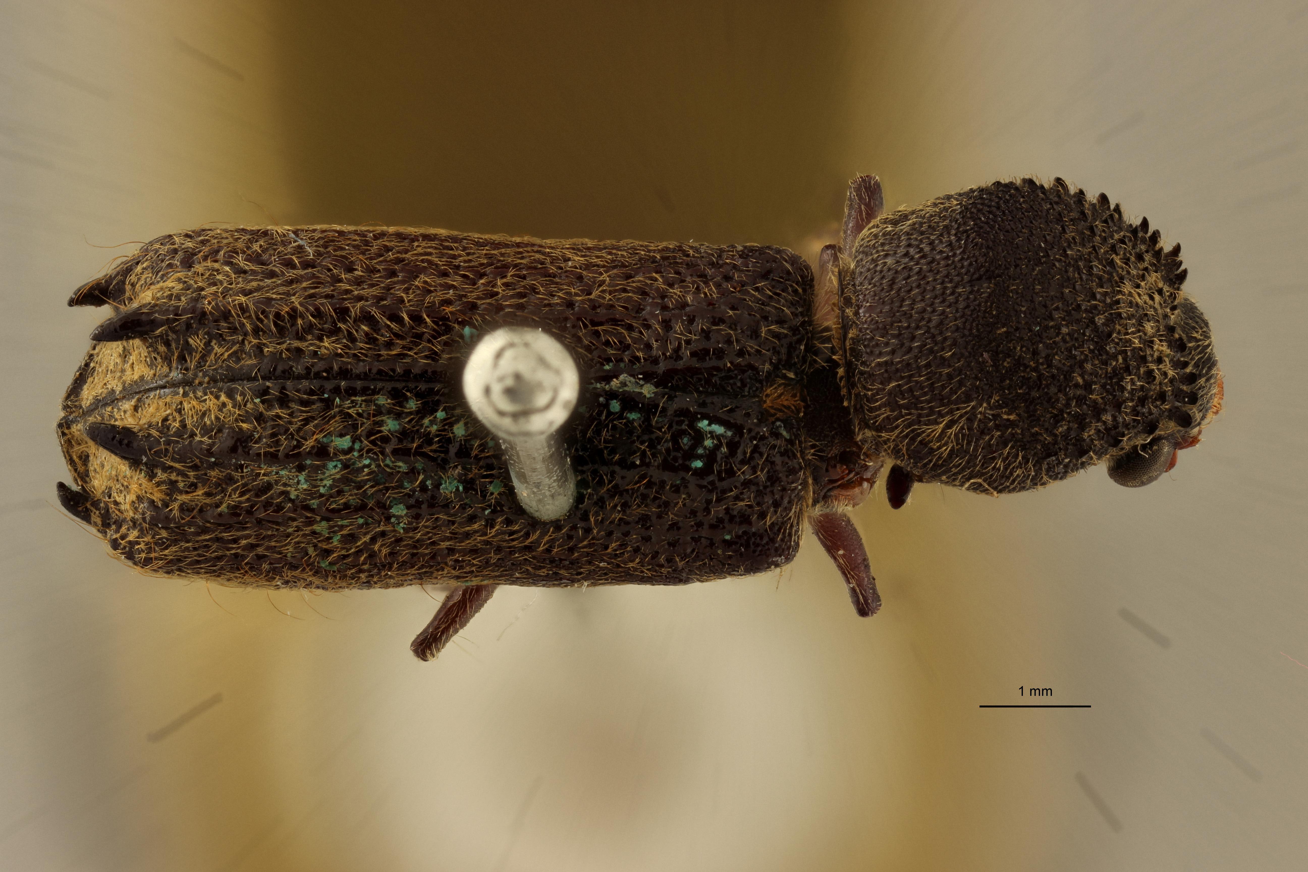 Bostrychus pulvinatus lt D.jpg
