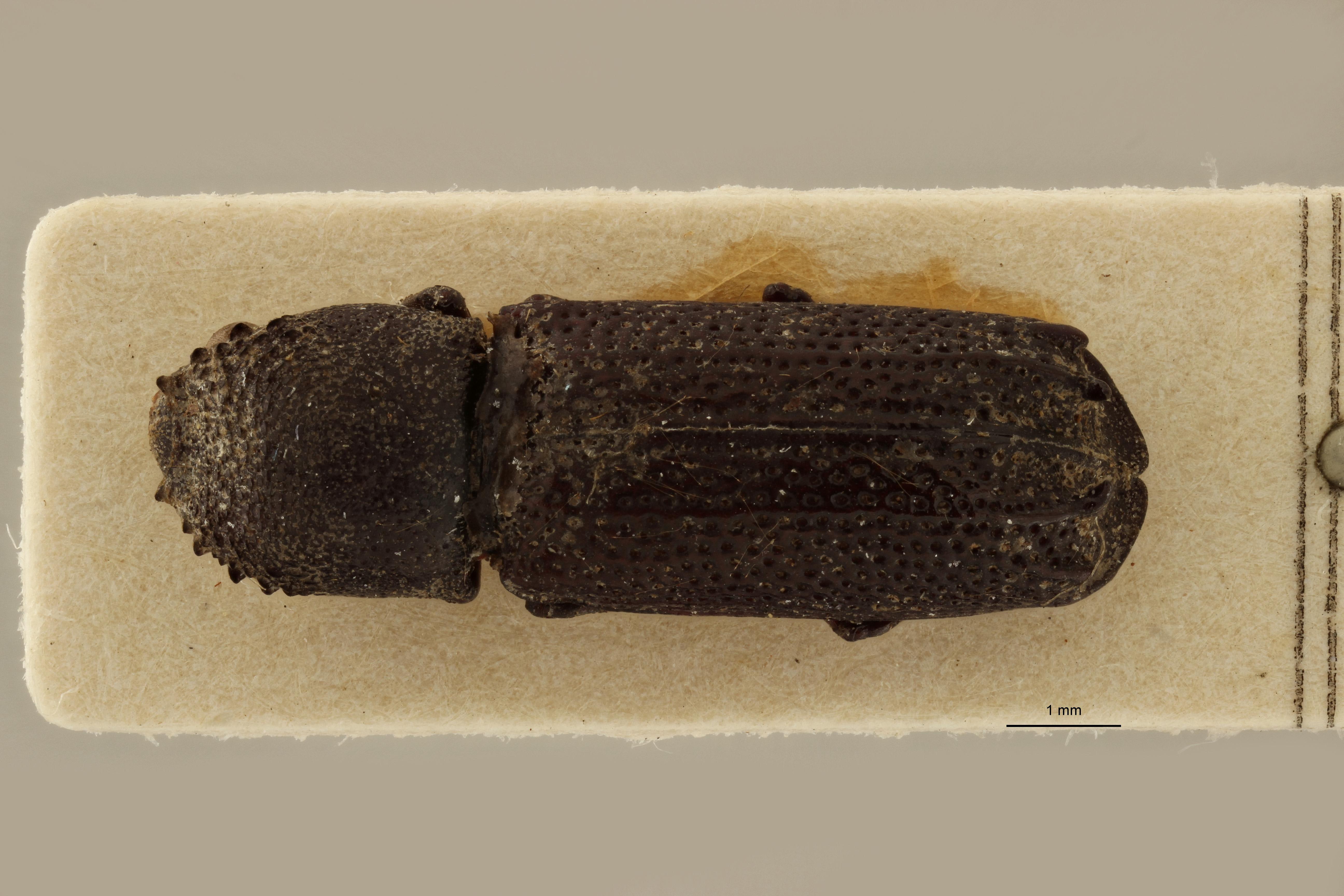 Bostrychus uncipennis pt D