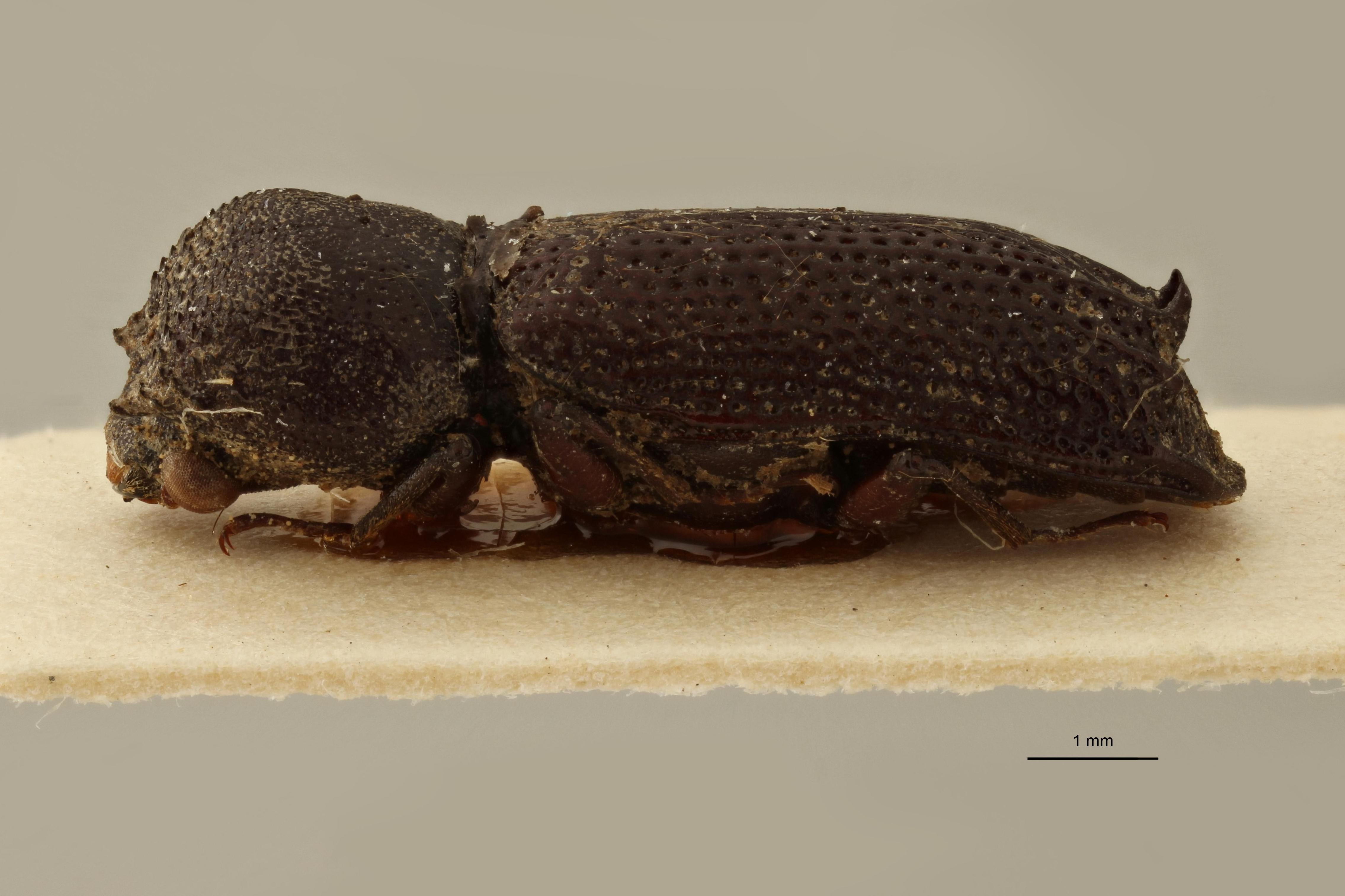 Bostrychus uncipennis pt L