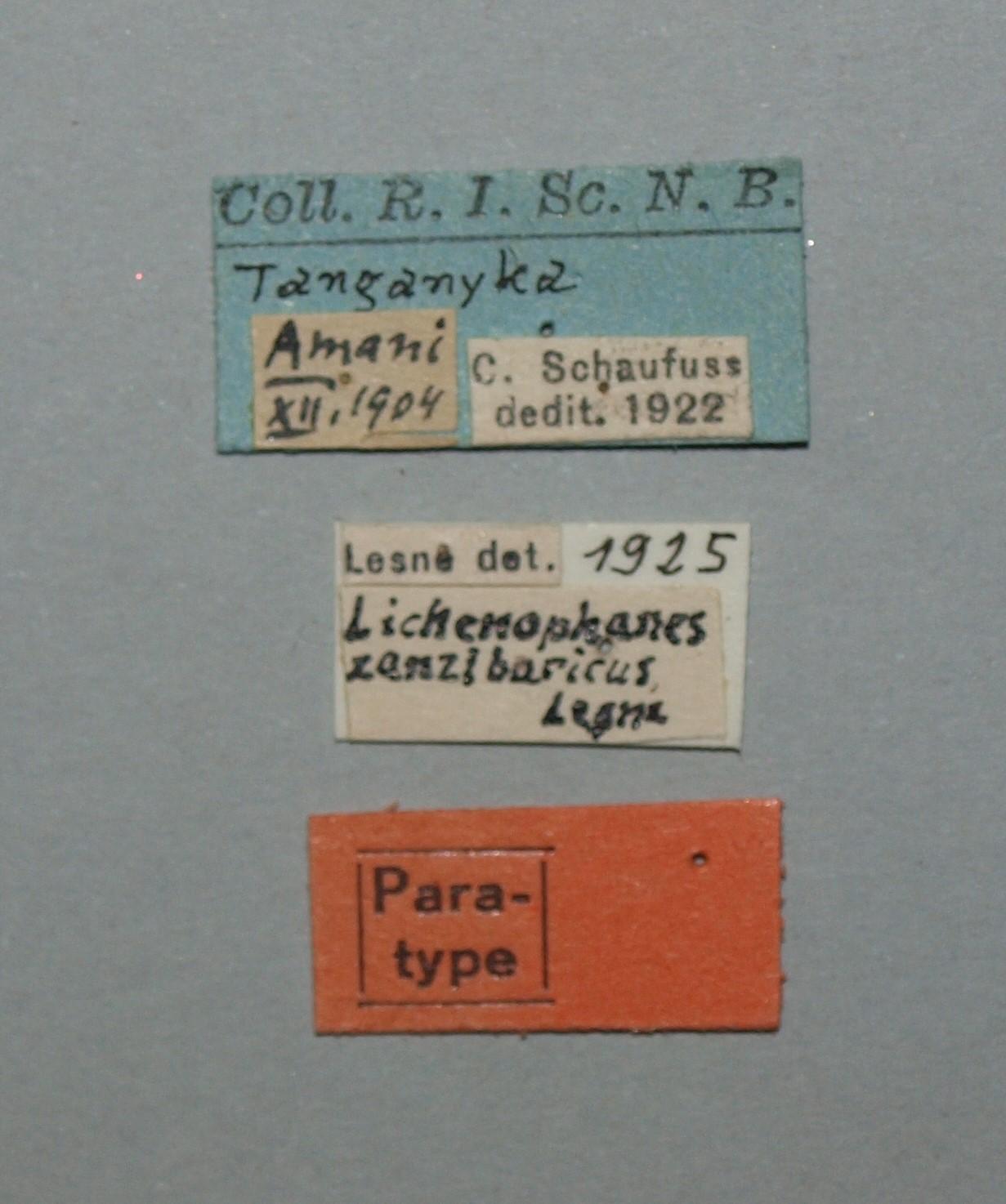 Lichenophanes zanzibaricus pt Lb
