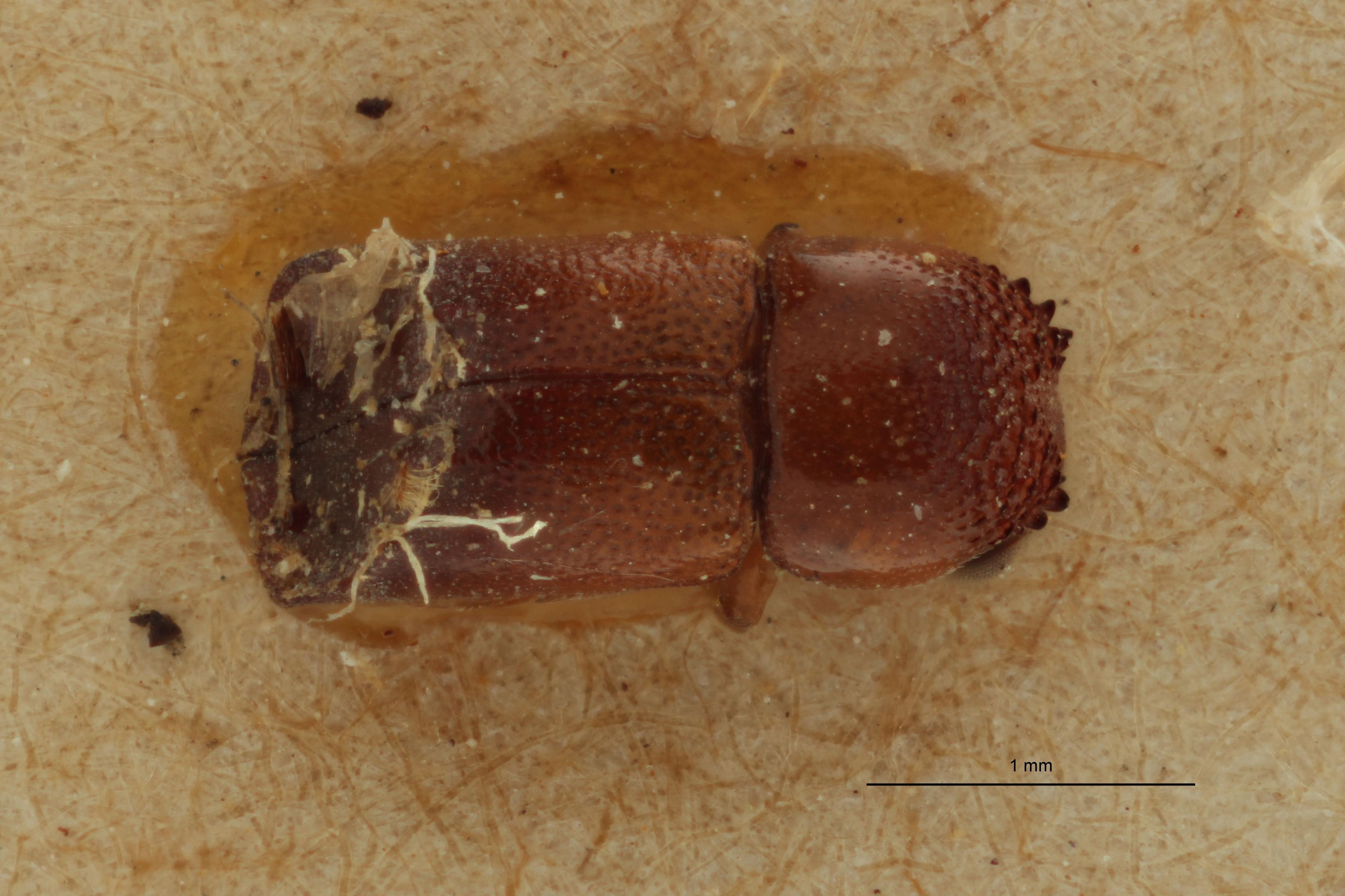 Paraxylion bifer javanicus pt D.jpg