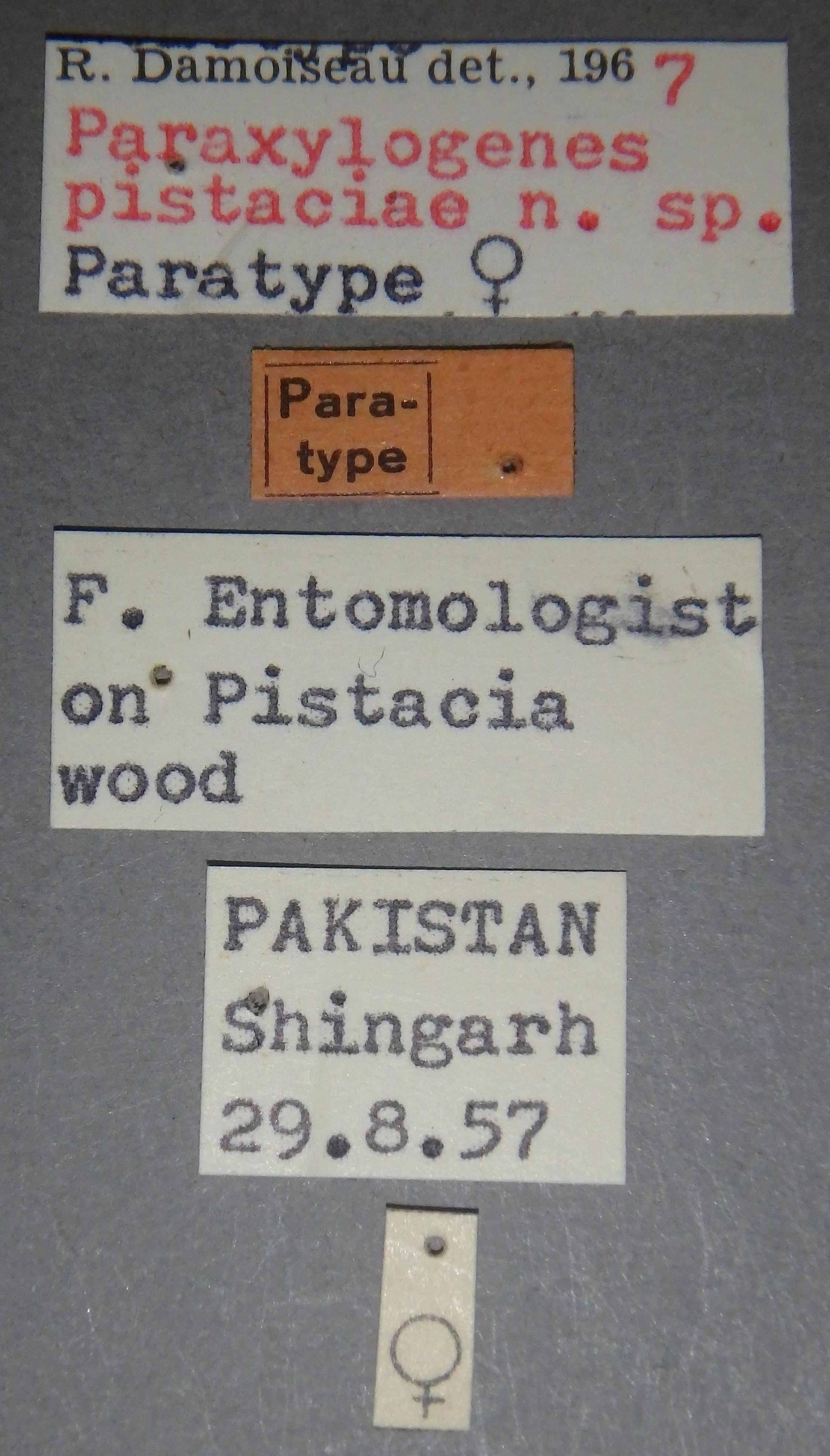 Paraxylogenes pistaciae pt1 Lb.JPG