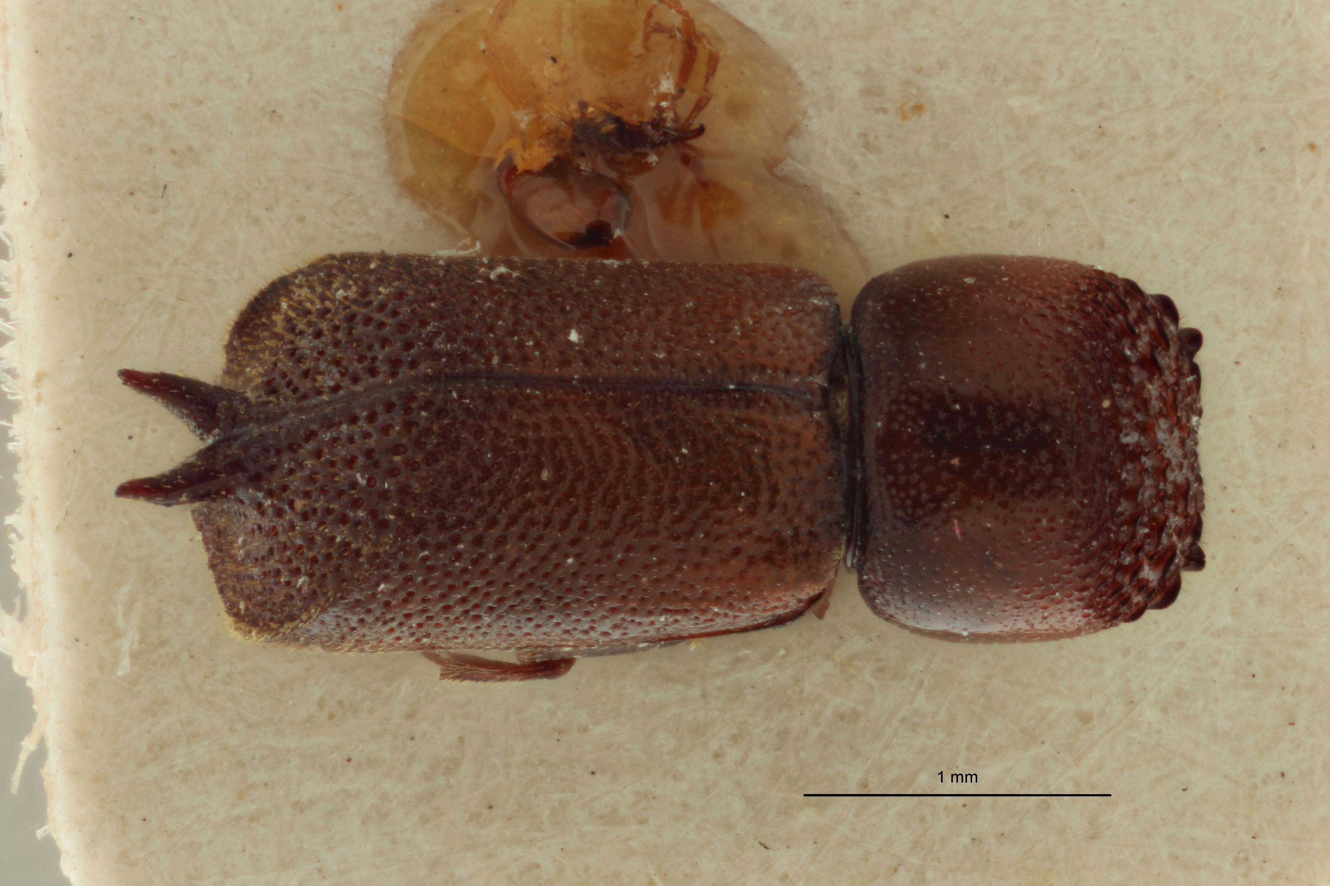Xylobosca gemina pat D.jpg