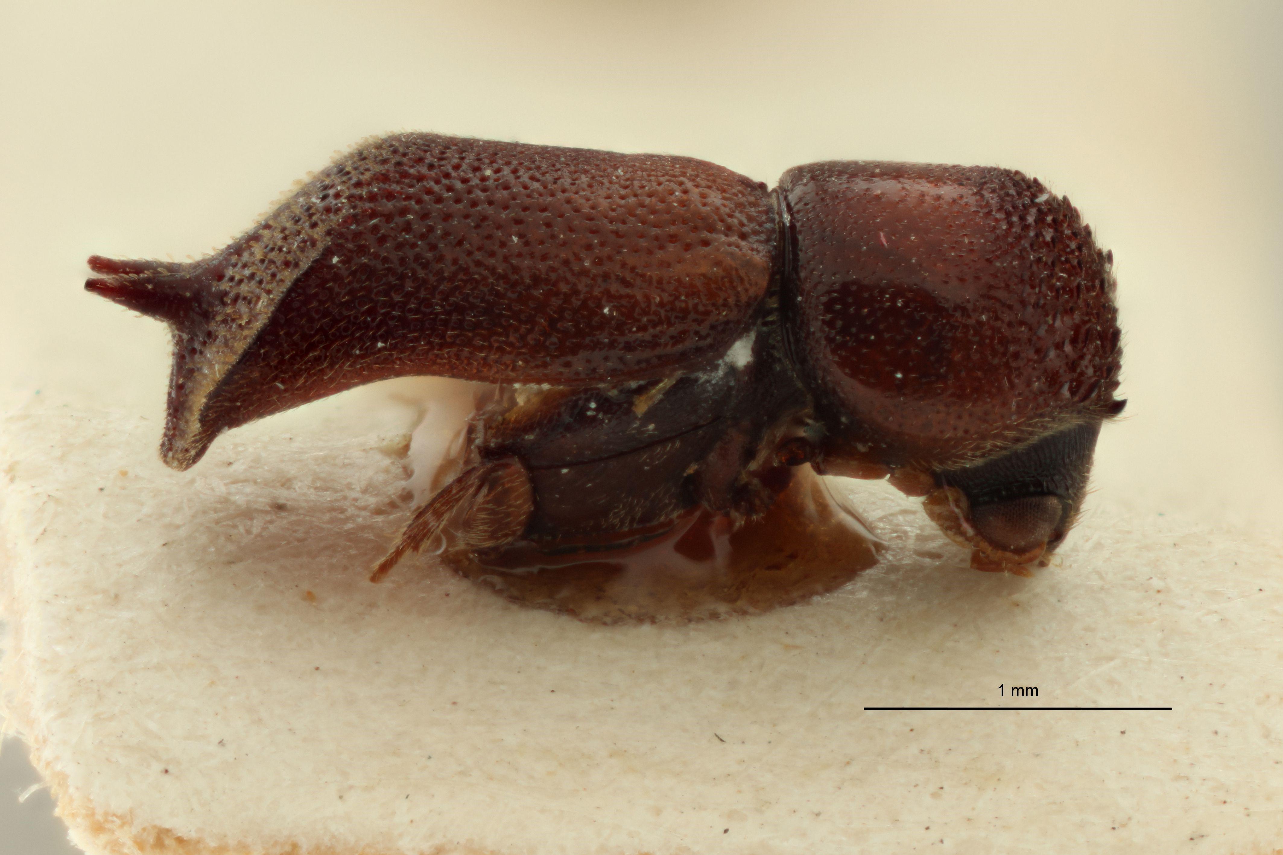 Xylobosca gemina pat L.jpg