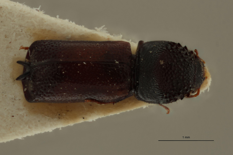 Xyloperthodes houssiaui t D.jpg