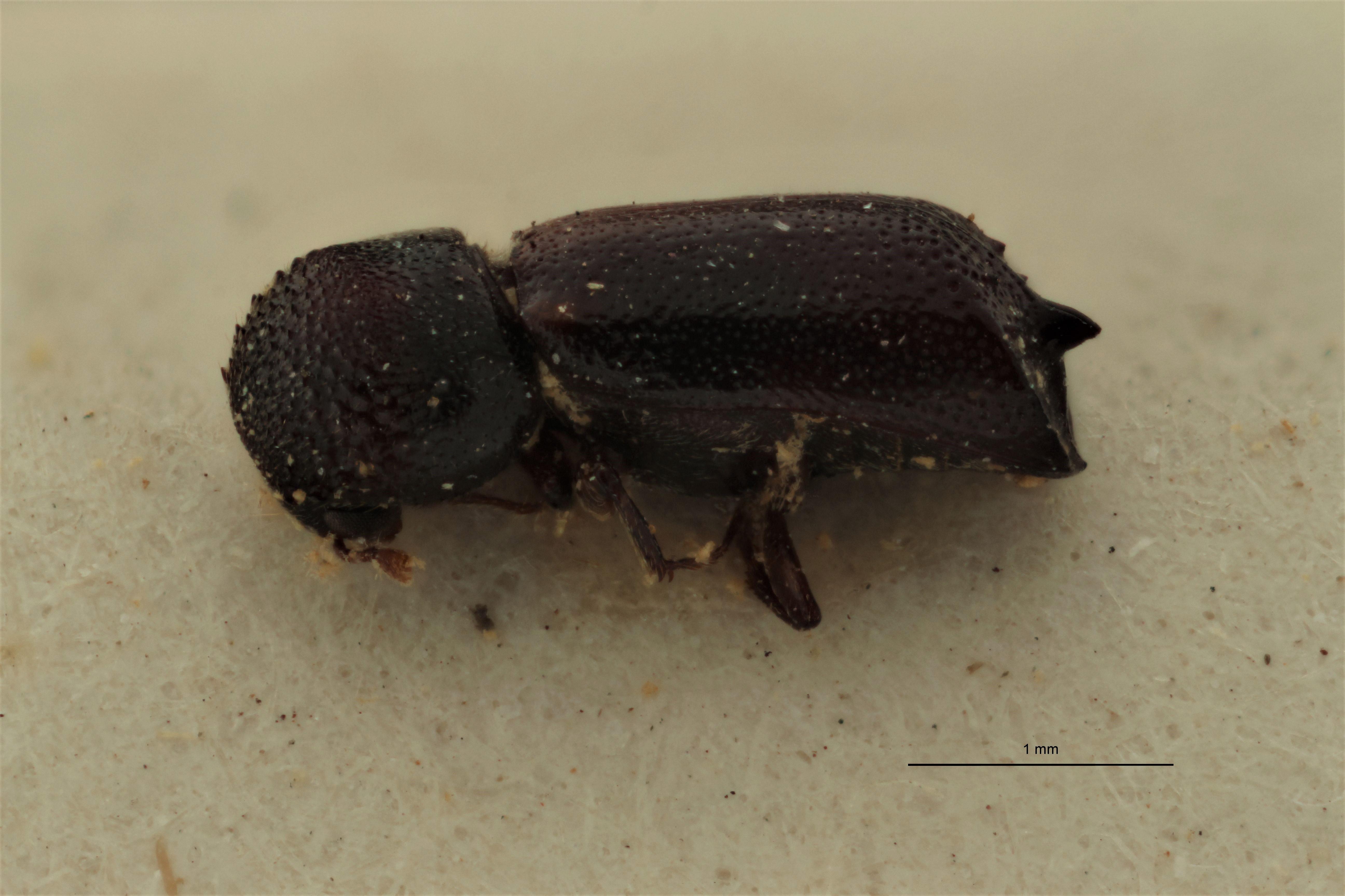Xyloperthodes houssiaui pt L.jpg