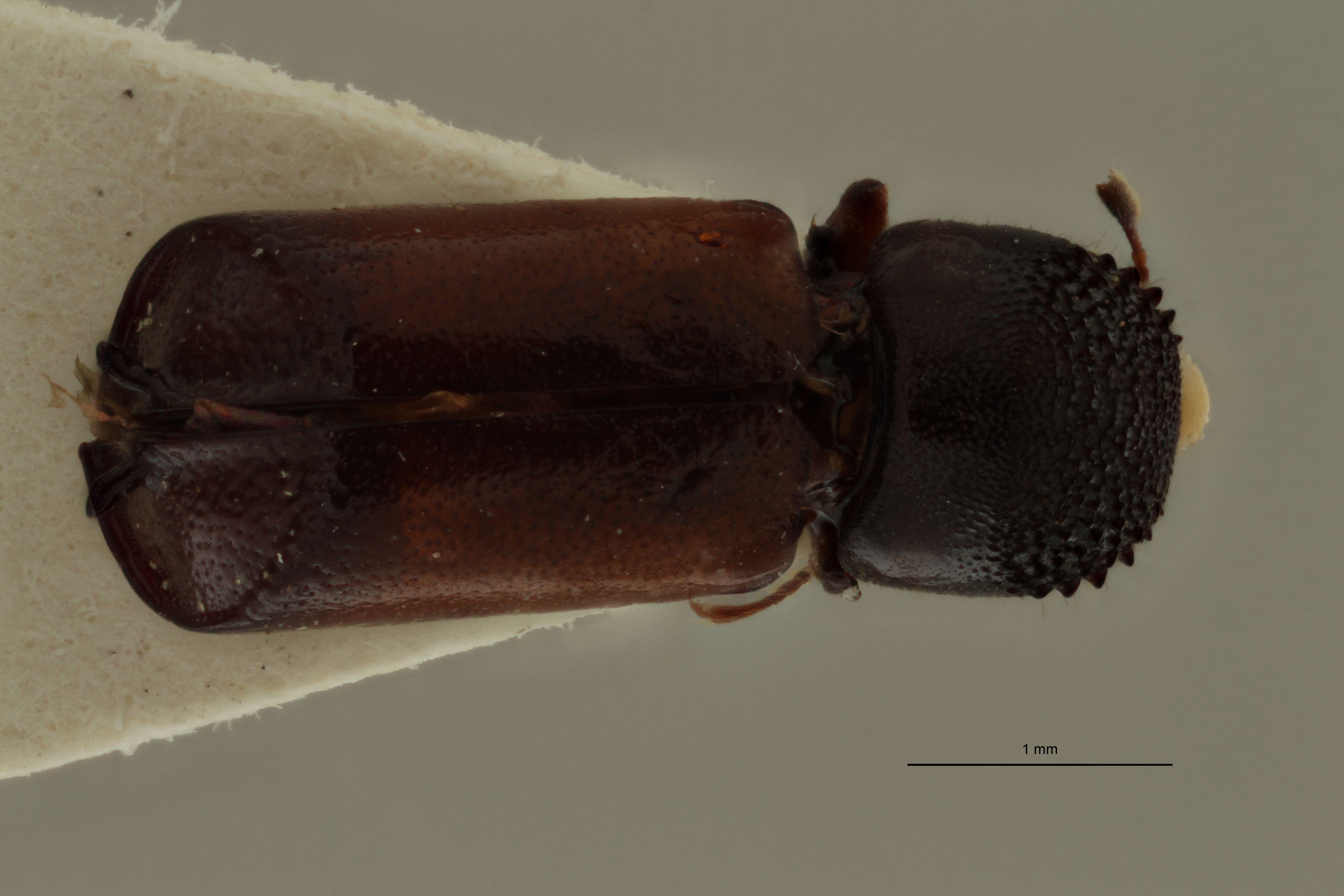 Xyloperthodes schedli pt D.jpg