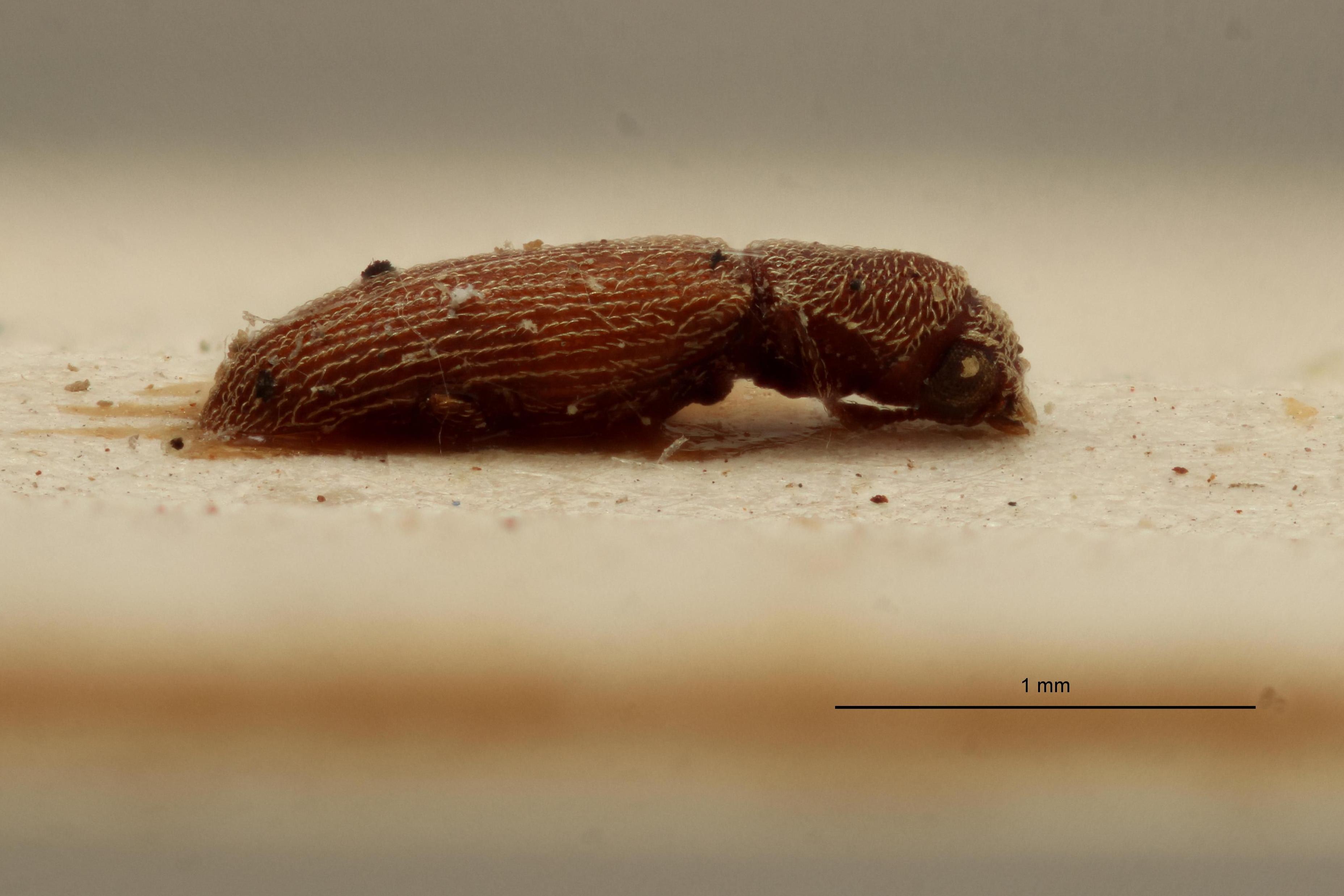 Lyctus chacoensis female pt L.jpg