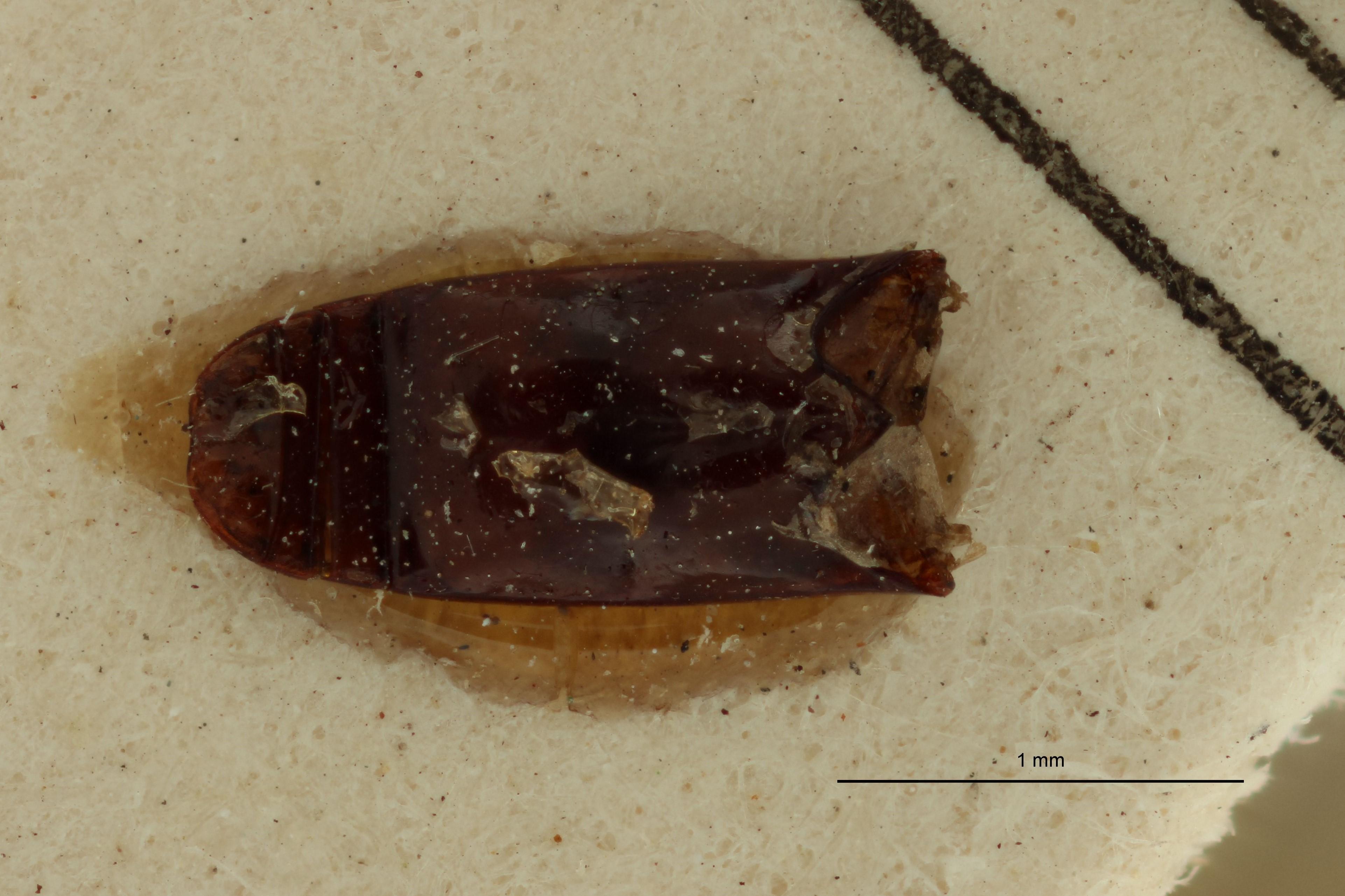 Jonthocerus crematus ht A.jpg