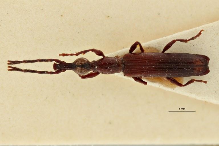 Jonthocerus crematus ht D.jpg