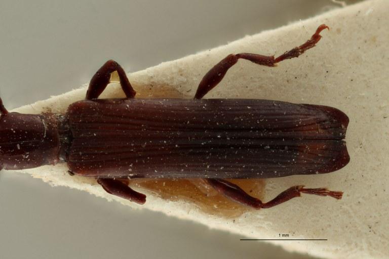 Jonthocerus crematus ht E.jpg