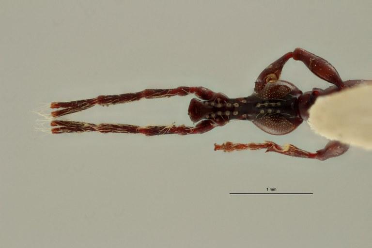 Jonthocerus crematus ht HV.jpg