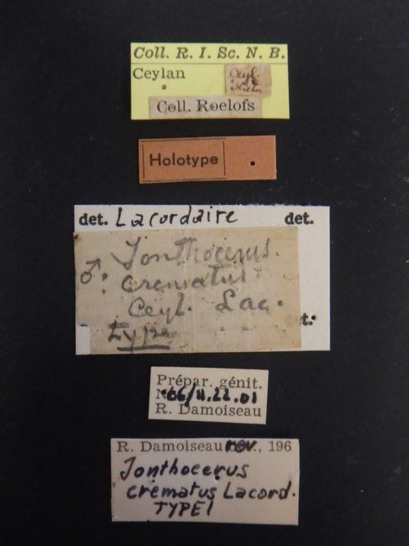 Jonthocerus crematus ht Lb.JPG