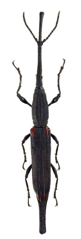 Zetophloeus pugionatus 59559cz64.jpg