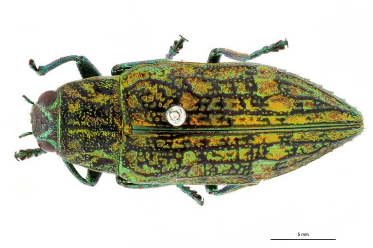 Chrysodema leopoldiana ht D.jpg