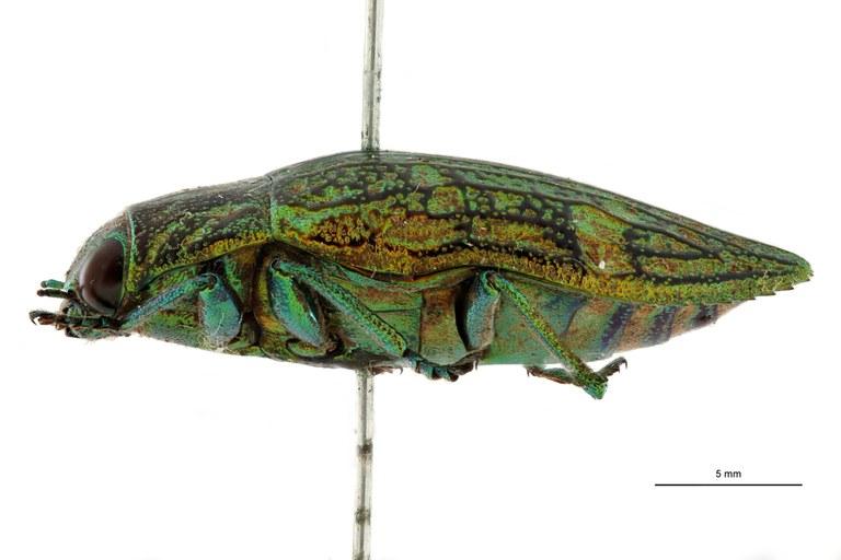 Chrysodema leopoldiana ht L.jpg