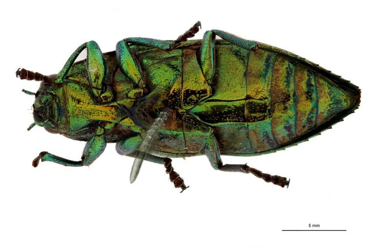 Chrysodema leopoldiana ht V.jpg