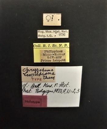 Chrysodema leopoldiana ht.jpg