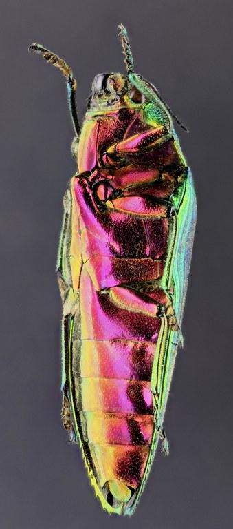 Callopistus castelnaudi 51083zs04.jpg