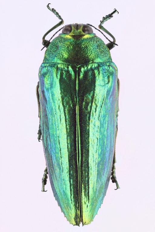Callopistus castelnaudi 51105zs15.jpg