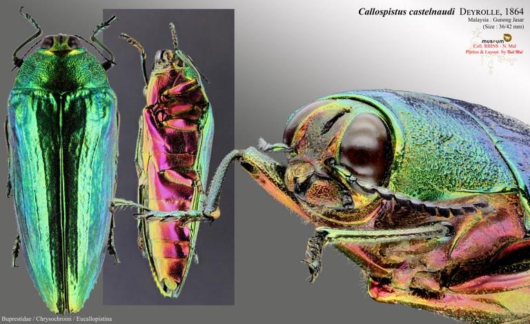 Callopistus castelnaudi.jpg