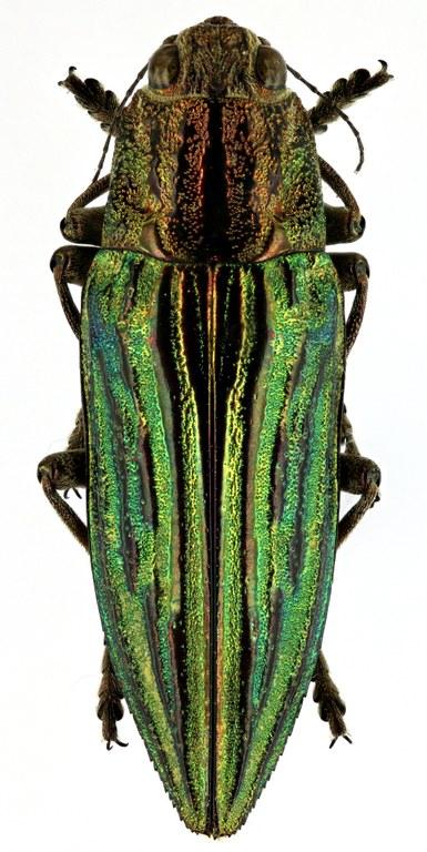 Chalcophora japonica oshimana 51764zs76.jpg