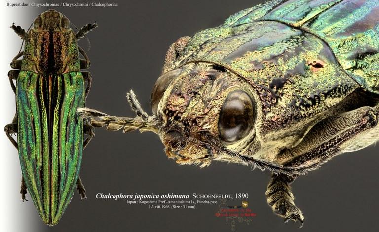 Chalcophora japonica oshimana.jpg