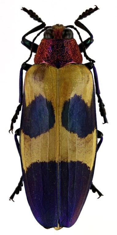 Chrysochroa rugicollis rugicollis 50294zs04.JPG
