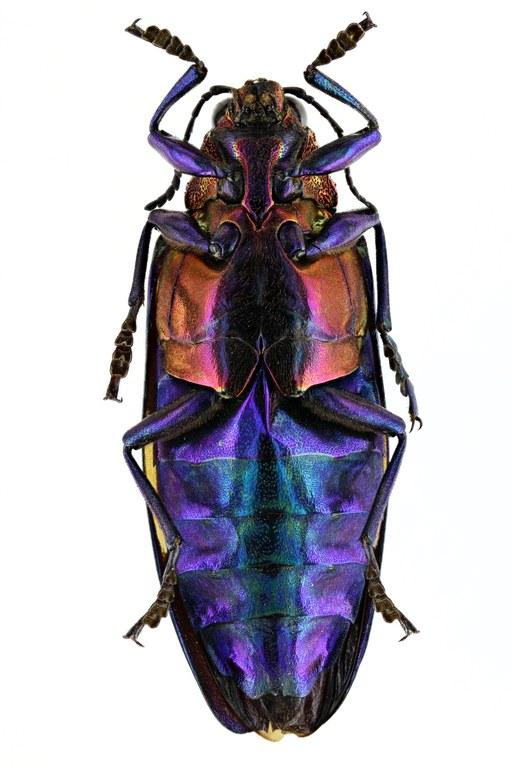 Chrysochroa rugicollis rugicollis 50305zs14.JPG