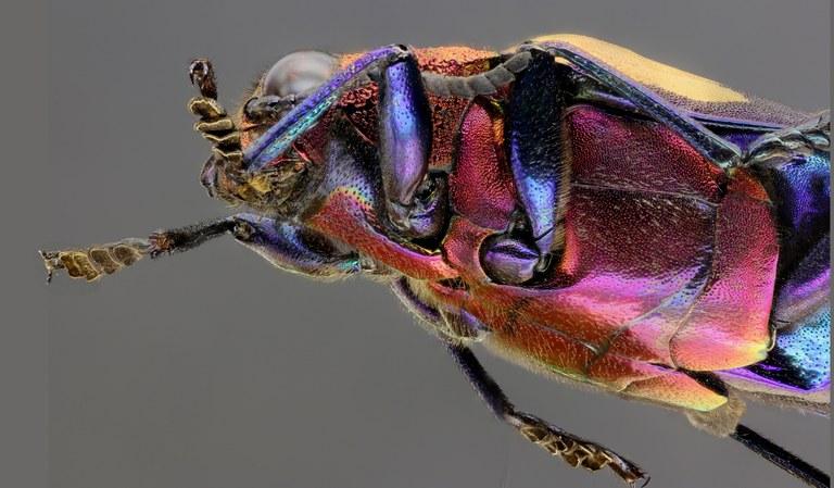Chrysochroa rugicollis rugicollis 50378zs23.JPG