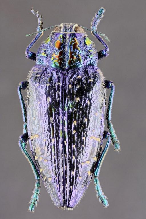 Polybothris sumptuosa 51521zs37.jpg