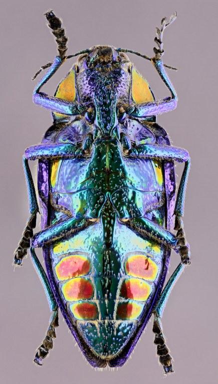 Polybothris sumptuosa 51538zs30.jpg