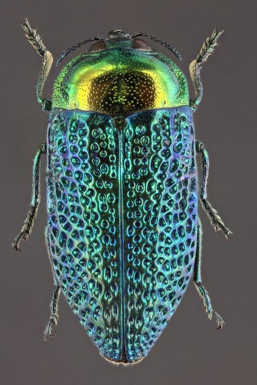 Stigmodera gratiosa 57284zs02.jpg