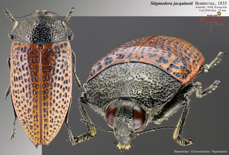 Stigmodera Jacquinoti.jpg