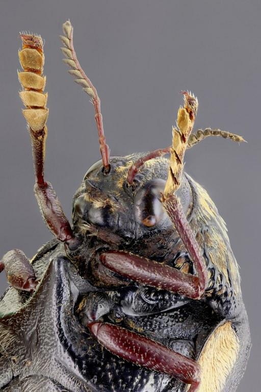 Sternocera boucardi 56765zs810.jpg