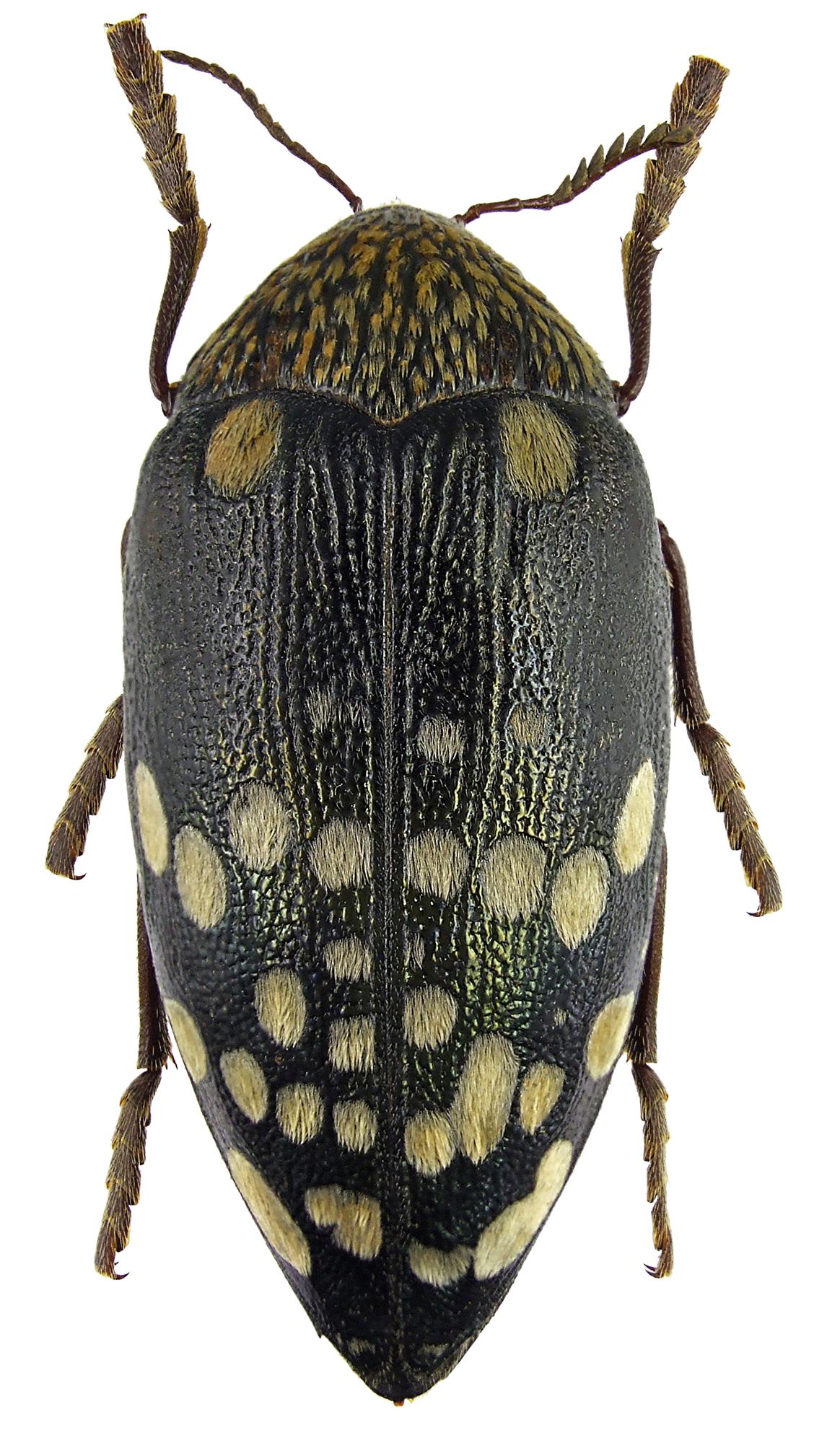 Sternocera boucardi 73586cz99.jpg