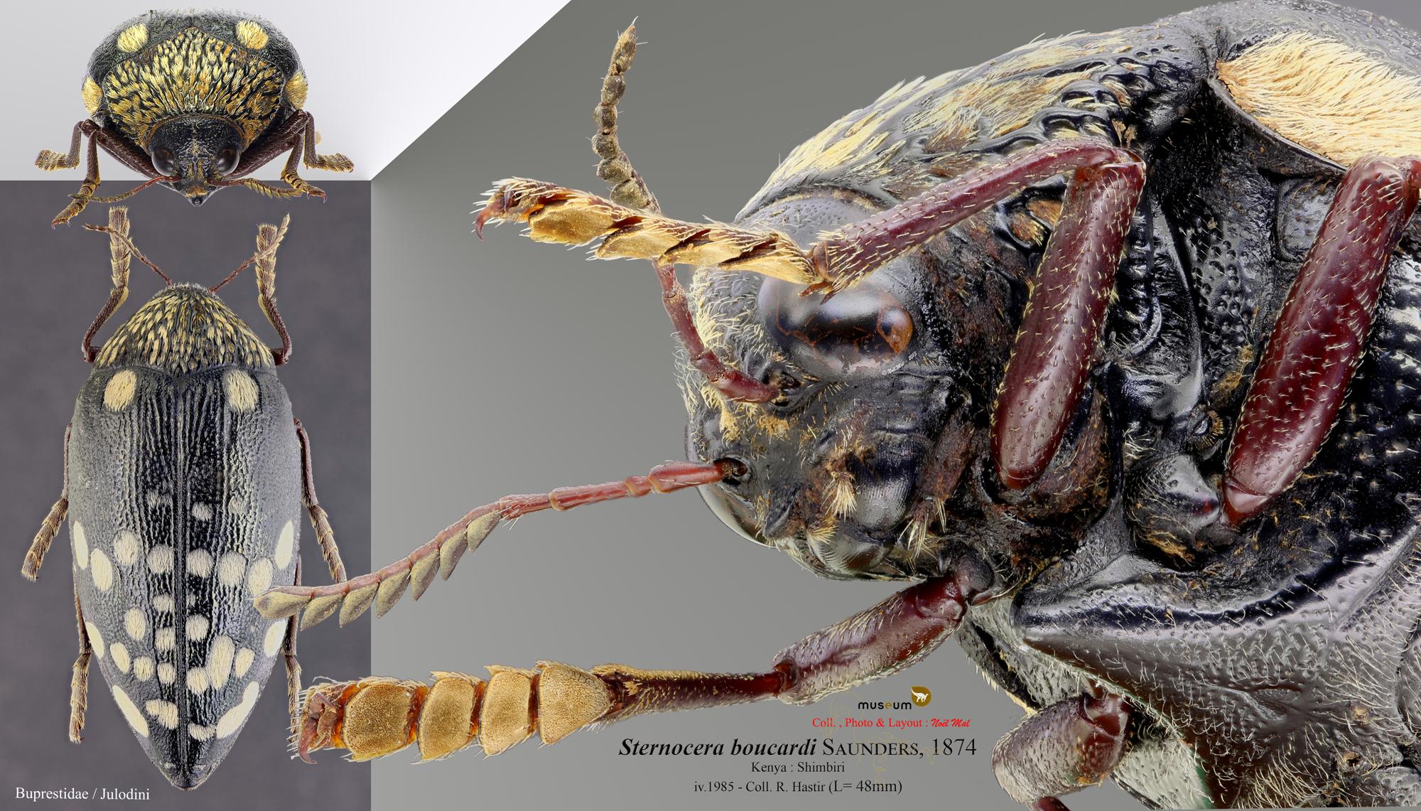 Sternocera boucardi C.jpg