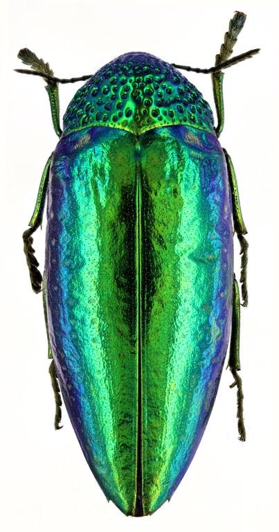 Sternocera ruficornis 51212zs28.jpg