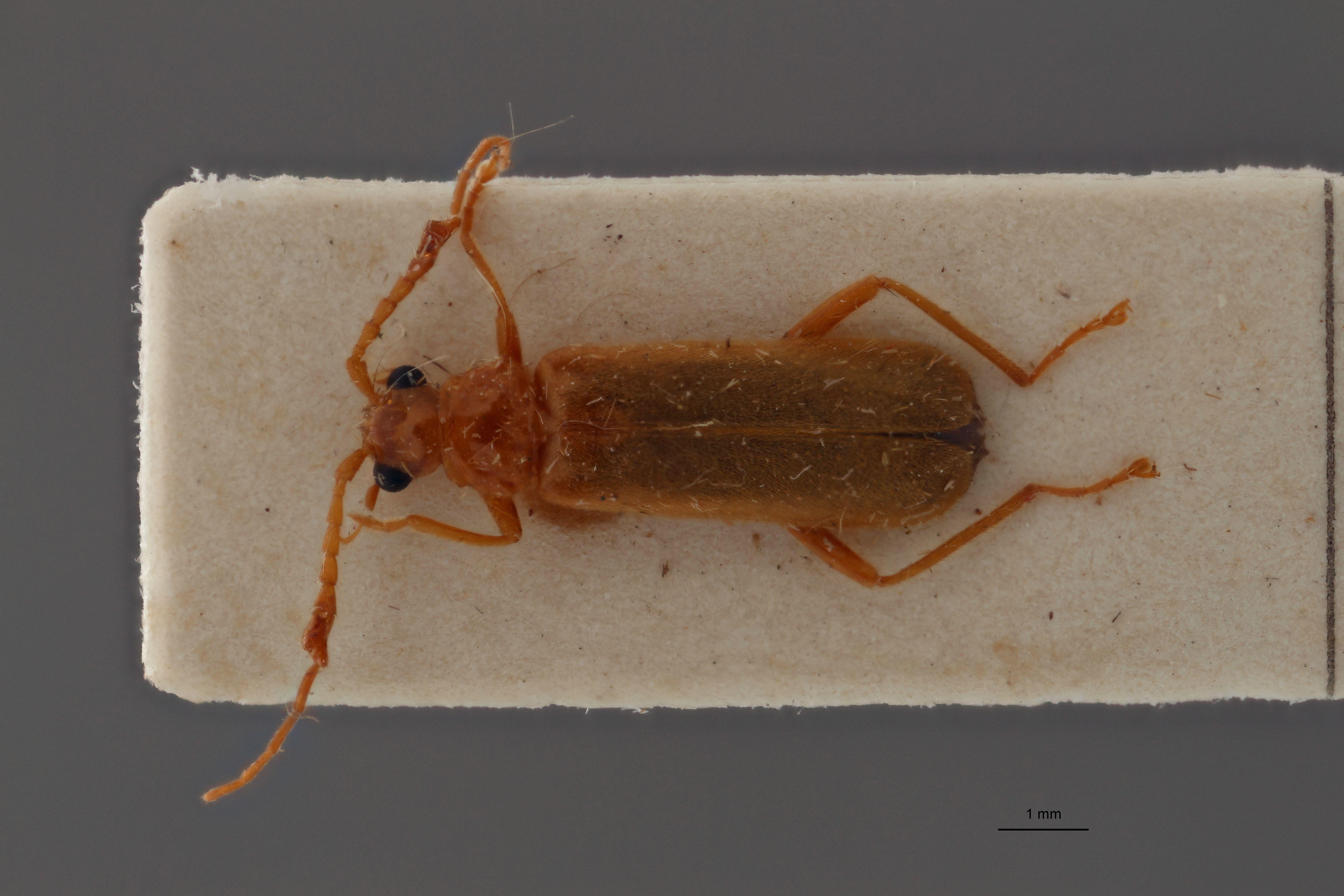 Silesinus testaceicornis t D.jpg