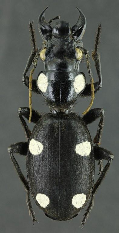 Anthia (Anthia) sexguttata 42239zs52.jpg