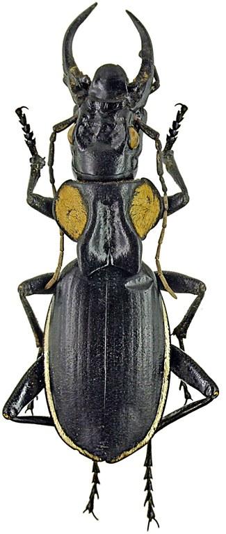 Anthia (Anthia) thoracica thoracica 3027-29.jpg