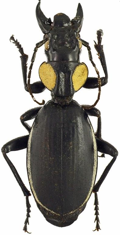 Anthia (Anthia) thoracica thoracica 38862cz66.jpg