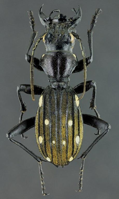 Anthia (Termophilum) decemguttata 41924zs37.jpg