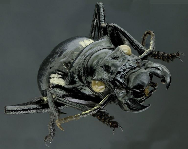 Anthia (Termophilum) venator 42624zs73.jpg