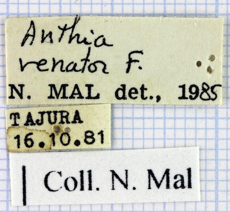 Anthia (Termophilum) venator 42674.jpg